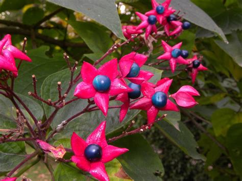 fiori di bacca bacca di foto dei fiori e delle piante da determinare