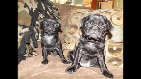 pug breeders ohio pug puppies for sale in ohio march 22 2013