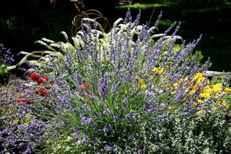 pin flowers perennials that bloom all summer flowering perennial plants on pinterest