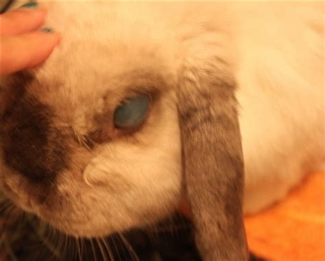 are rabbits color blind rabbits eye turned light blue getting lighter