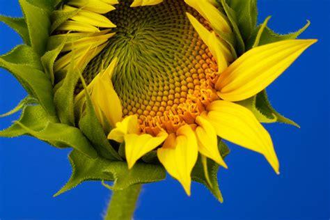 Grey Sunflower sunflower grey striped flowers premier seeds