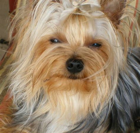 where yorkies come from cuddlebug yorkies akc quality yorkies chion bloodlines offering chocolate yorkies