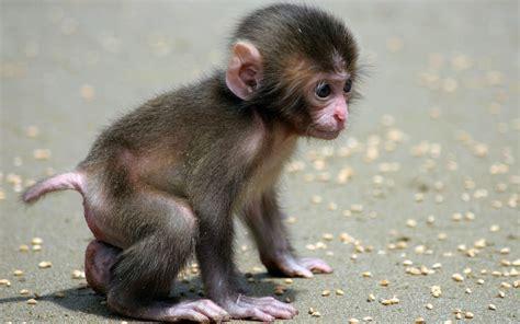 monkey wallpaper monkey indian monkey funny spiderman monkey hd images