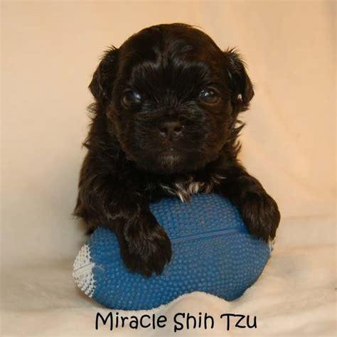 miracle shih tzu shih tzu puppy for sale