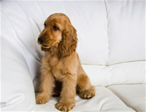 Cocker Spaniel Shedding Information by Cocker Spaniel Facts