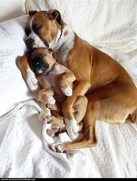 puppies cost pictures of boxer puppies for sale goldenacresdogs