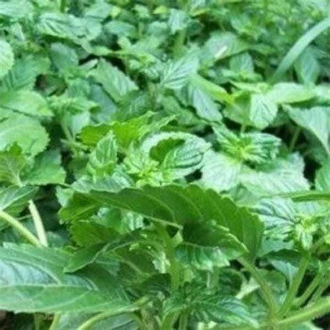 Pot Bonsai 25cm Wrn Hitam jual bibit unggul tanaman cincau hitam janggelan bibit