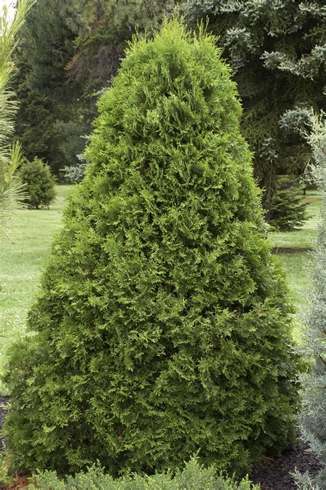 decorating wonderful emerald green arborvitae for garden