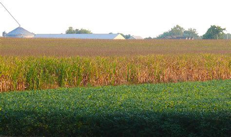 Sunflower Field dry weather excessive heat still choking indiana corn