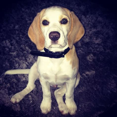 lemon beagle puppies for sale kc reg pedigree lemon beagle puppy for sale coatbridge lanarkshire pets4homes