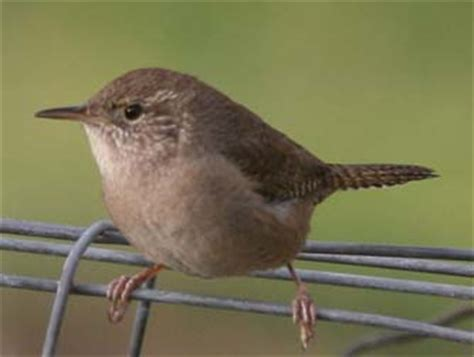 house wren song house wren pictures