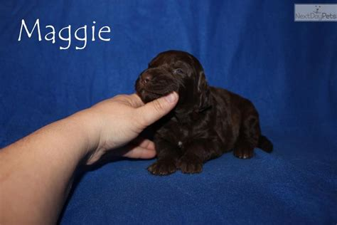 free puppies jackson tn aussiedoodle puppy for sale near jackson tennessee 81934e7e 2b81