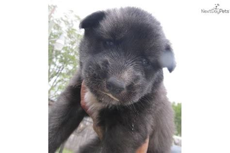 black wolf hybrid puppies for sale wolf hybrid puppies for sale httpmedicolandeuruwolf hybrid breeds picture