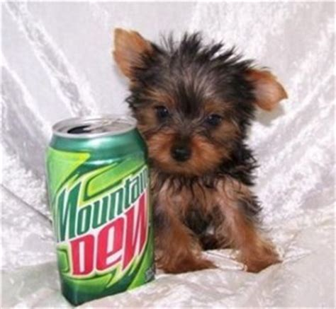 yorkies for sale in sioux falls sd pets south dakota free classified ads