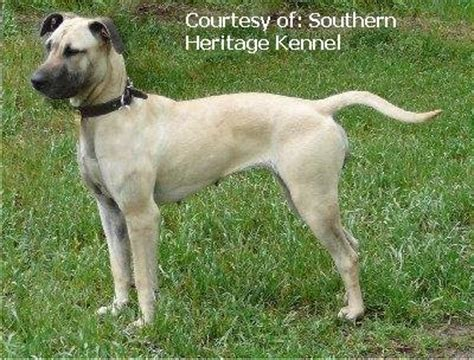 ladner black cur puppies for sale black cur southern cur breeds picture