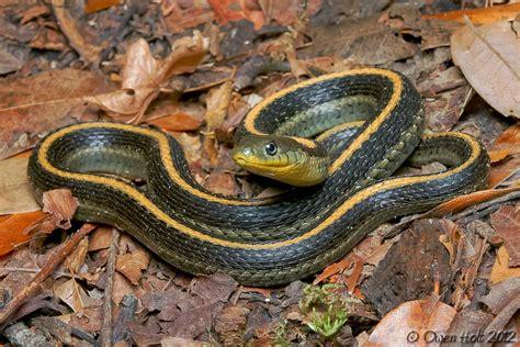 Garter Snake Forum Field Herp Forum View Topic Aquatic Garter Snake Question