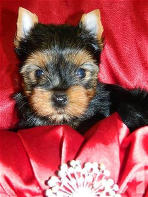 puppies for sale in fort worth teacup chihuahua puppies for sale in fort worth classified americanlisted