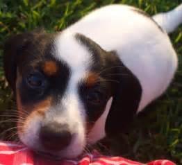 tri color dachshund pup 6 piebald dachshund puppy black