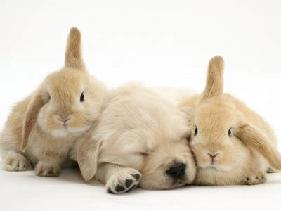 bunnies and puppies golden retriever puppies pictures and adorable