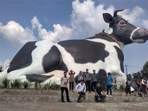 inilah sapi sapi terbesar  dunia youtube