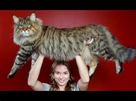 Inidia Cat 16 dicas e cuidados maine coon gato gigante paix 227 o