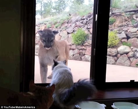 Gamis Jaguard Wafle Syari house cat stands up to mountain that tries to get