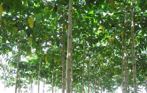 Bibit Pohon Jati Putih nursery plants jabon tree jabon seedling plant