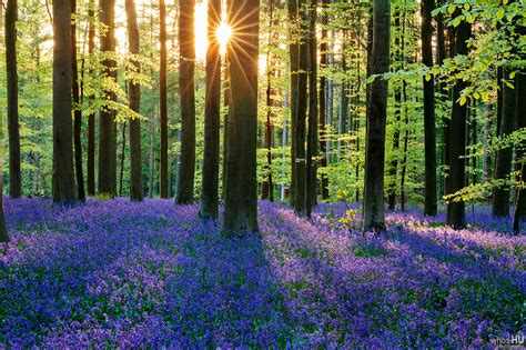 bluebell forest photo finish friday bluebell forest of hallerbos by chung