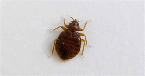 cedar oil for bed bugs how effective is cedar oil for bedbugs ohsimply com