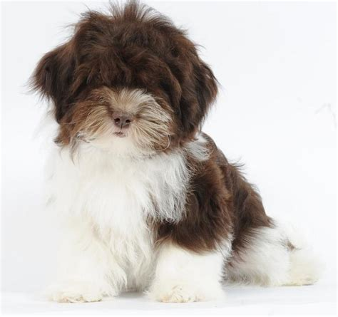 colored havanese black and white parti havanese pictures to pin on pinsdaddy
