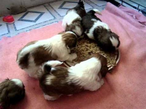 shih tzu 5 weeks 5 week shih tzu puppies for the 1st time