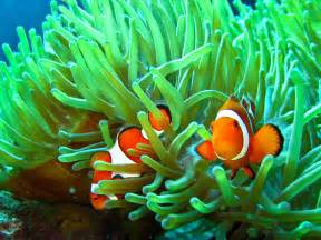 Hd sea anemone and clown fish wallpaper