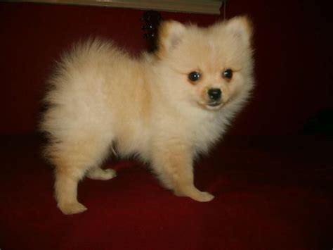 pomeranian puppies for sale in cheap pomeranian for sale for 700 near houston 193be0fb d061