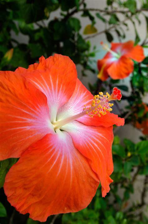 hibiskus zimmerpflanze kaufen hibiskus winterhart winterharter hibiskus 39 summerific