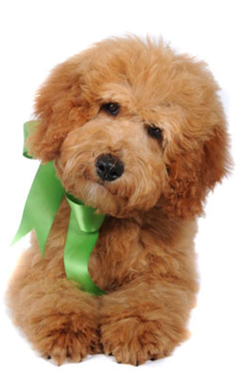 teddy goldendoodle puppies teddy goldendoodles