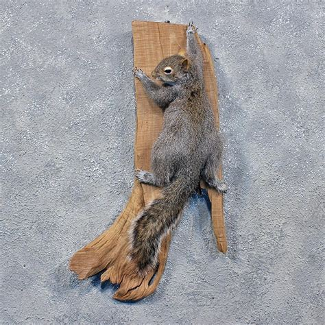 standing grey squirrel mount   taxidermy store