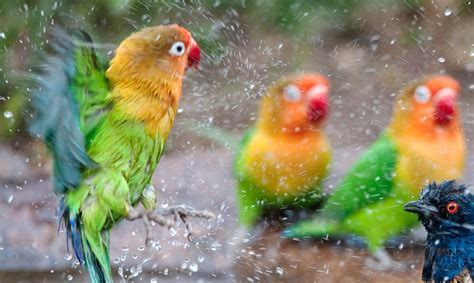 For Lovebird lovebirds driverlayer search engine