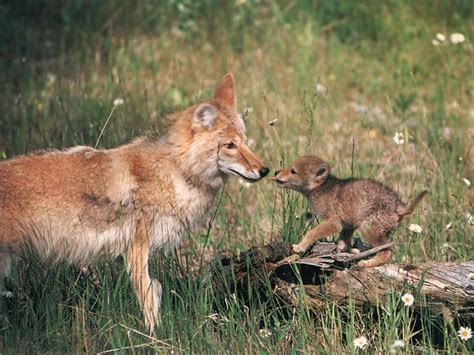 facts about coyote cubs apexwallpapers com coyote