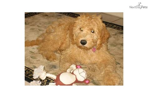 indiana adoption picture book goldendoodle puppies indiana breeds picture