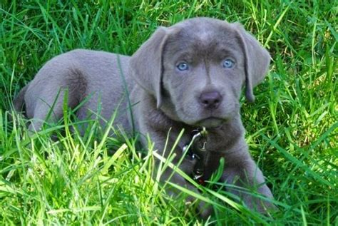 silver lab puppies silver labrador puppies for sale charcoal labradors animals silver