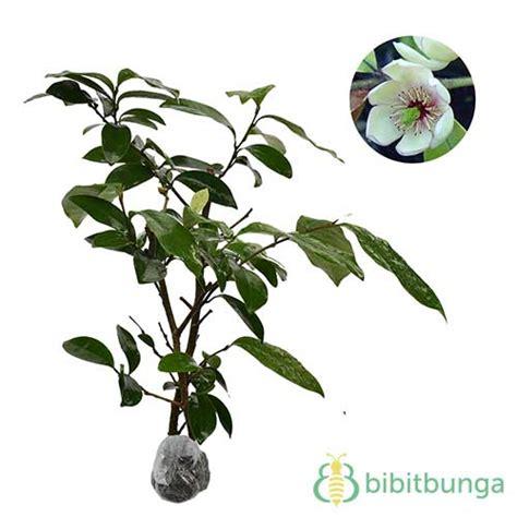 Bibit Bunga Cempaka tanaman cempaka mulya putih white magnolia figo