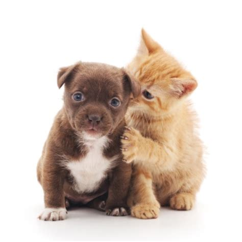 pictures of kittens and puppies pictures of puppies and kittens 4k wallpapers