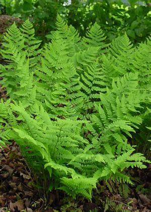 dryopteris marginalis eastern woodfern  north creek