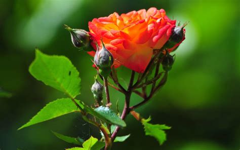 wallpaper for desktop roses rose flower wallpapers for desktop wallpaper cave