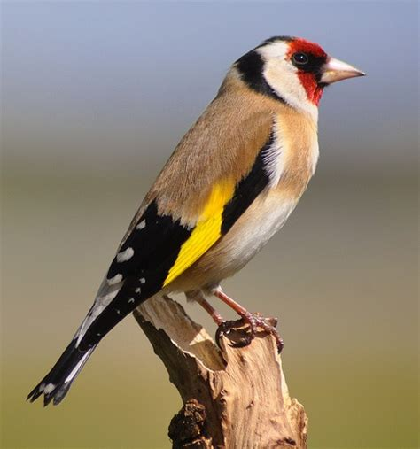 themes goldfinch goldfinch carduelis carduelis volare pinterest photos