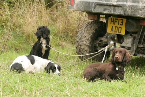how can dogs hold their which gundog breeds are best at picking up labradors or springers shooting uk