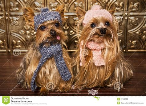 yorkies in the winter terrier dogs dressed up for winter stock photo