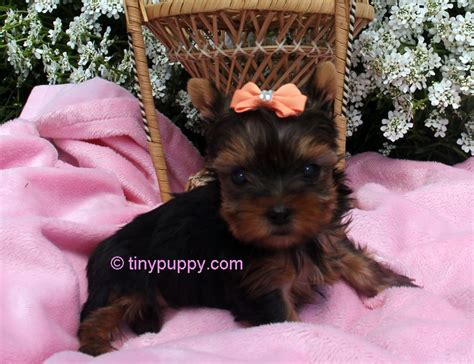 yorkies in iowa teacup yorkie chion sired tinypuppy