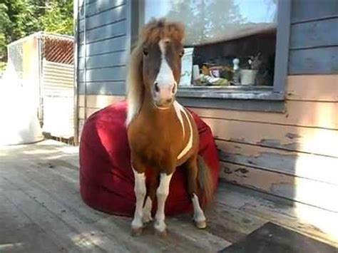 horse sitting on couch bean bag chair review from a mini horse real and cute