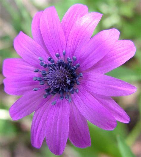 fotografie fiori fiore bluviola fotografia fiori